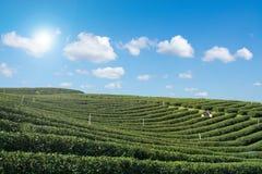 Bauernhof des grünen Tees mit Hintergrund des blauen Himmels Stockfotos