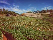 Bauernhof-Erdbeere Stockbild