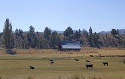 Bauernhof-Feld mit Kühen und Scheune Lizenzfreies Stockbild