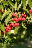 Bauernhof-frische Kirschsüße Frucht-Rebe Cherry Tree Farm Agriculture Lizenzfreie Stockfotografie