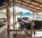 Bauernhof, Kuh, Kuh, die Gras in der Koppel isst Lizenzfreie Stockfotos