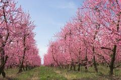Bauernhof mit blühenden Bäumen Stockfoto