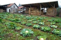 Bauernhof mit einer Bearbeitung des Kohls Lizenzfreies Stockbild