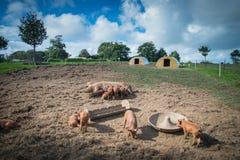 Bauernhof mit Schweinen und Himmelhintergrund Stockbild