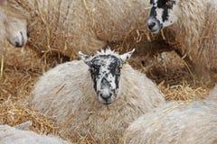 Herde der Schafe Lizenzfreie Stockbilder