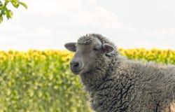 Bauernhof mit Viehhaltung im Sommer Schafe auf dem Weiden lassen auf einem Sommerfeld Lizenzfreies Stockfoto