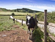 Bauernhof schüchtert das Vieh ein, das in der Wiese weiden lässt Lizenzfreie Stockbilder