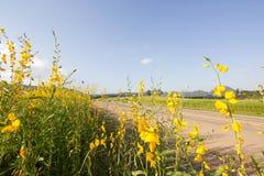 Bauernhof-Sunnhanfblumen Schöne gelbe Blumen und blauer Himmel Lizenzfreies Stockbild