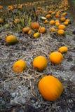 Bauernhof-Szenen-Halloween-Gemüsebau Autumn Pumpkins Harvest R Stockfotografie