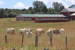 Bauernhof und Vieh Stockbild