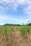 Bauernhof von Mais Lizenzfreie Stockfotografie
