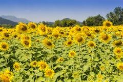 Bauernhof von Sonnenblumen lizenzfreies stockfoto