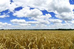 Bauernhof - Weizenmakro Stockfoto