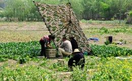 Pengzhou, China: Bauernhof-Familie, die Spinat erntet Stockbild