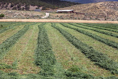 Bauernhoffeld mit geschnittenem Luzerneheu stockbilder