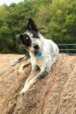 Bauernhofhund sagt, was? Stockfotos