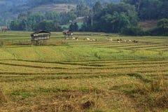 Bauernhofkühe in den blühenden Landschaften Stockbilder