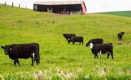 Bauernhofkühe lassen auf dem Bauernhof weiden lizenzfreies stockfoto