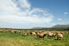 Bauernhoflandschaft mit Jersey-Viehherde Stockfotografie