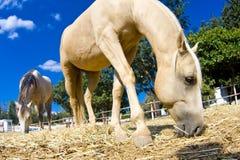 Bauernhofpferde Stockbild