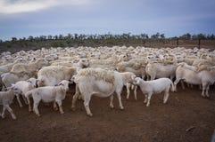 Bauernhofschafe bei Queensland, Australien Lizenzfreie Stockfotos