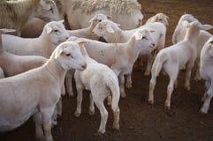 Bauernhofschafe bei Queensland, Australien Stockbild