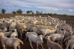 Bauernhofschafe bei Queensland, Australien Stockfotos