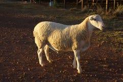 Bauernhofschafe bei Queensland, Australien Stockfotografie