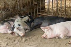 Bauernhofschweine Stockfoto