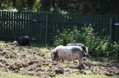 Bauernhofschweine Stockfotos