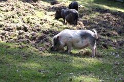 Bauernhofschweine Lizenzfreie Stockfotos