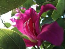 Bauhinia Ã- Blakeana, Hong Kong Orchid Tree Blossoming tijdens Zonsondergang in Waimea op het Eiland van Kauai, Hawaï stock foto's