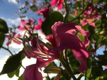 Bauhinia Ã- Blakeana, Hong Kong Orchid Tree Blossoming tijdens Zonsondergang in Waimea op het Eiland van Kauai, Hawaï stock fotografie
