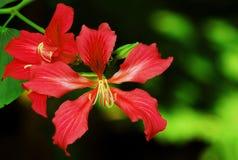bauhinia цветет красный цвет стоковые изображения rf