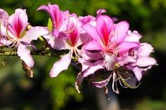Bauhinia Stockfoto