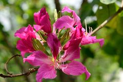 Bauhinia Royalty Free Stock Photo
