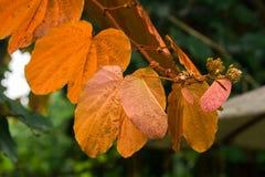 Bauhinia aureifolia, golden leaves, is a large vine wood stock image