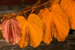 Bauhinia aureifolia, golden leaves, is a large vine wood royalty free stock photography