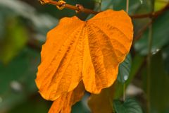 Bauhinia aureifolia, golden leaves, is a large vine wood royalty free stock image
