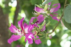 Bauhinia. /boʊˈhɪniə/[5] is a genus of more than 500 species of flowering plants in the subfamily Cercidoideae of the large flowering plant family Fabaceae Royalty Free Stock Photography