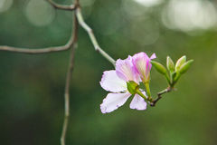 Bauhinia 5 Royalty Free Stock Images