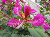 Bauhinia Blakeana is the city flower of Hong Kong royalty free stock images