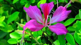 Bauhinia blakeana flower. Pink bauhinia flower close up with natural background