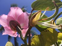 Bauhinia Blakeana, Hong Kong Orchid Tree Blossoming in de Lente in Kekaha op het Eiland van Kauai, Hawaï royalty-vrije stock foto