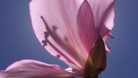 Bauhinia Blakeana, Hong Kong Orchid Tree Blossoming na mola em Kekaha na ilha de Kauai, Havaí filme
