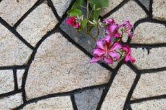 Bauhinia blakeana mit Steinwandhintergrund Stockfoto