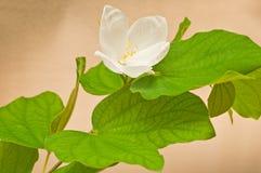 Bauhinia blanco Fotos de archivo libres de regalías