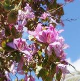 Bauhinia blossom. Beautiful blossom of pink bauhinia flowers Stock Photo