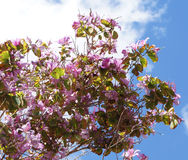 Bauhinia blossom. Beautiful blossom of pink bauhinia flowers Royalty Free Stock Photo