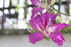 Bauhinia. /boʊˈhɪniə/[5] is a genus of more than 500 species of flowering plants in the subfamily Cercidoideae of the large flowering plant family Fabaceae Stock Photo